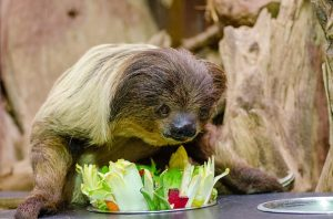 Eating like a sloth