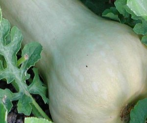 Raw Foods Fusion Demystified and a Warming Raw Ginger-Squash Soup Recipe for Winter
